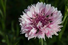cornflower Imagen de archivo libre de regalías