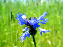 Cornflower. Lonely in the field royalty free stock photography
