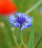 Cornflower Стоковые Фото