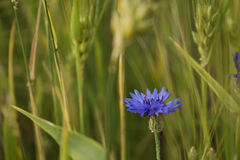 cornflower Immagine Stock