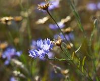 cornflower stock foto's