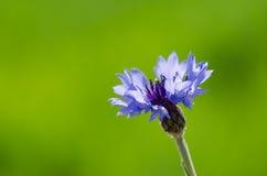 Cornflower Royalty Free Stock Images