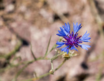 Cornflower Against Light Background with Copy Space Royalty Free Stock Photo