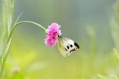 Cornflower avec le guindineau images libres de droits
