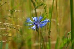 Cornflower azul fotografia de stock royalty free