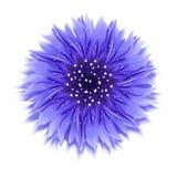 Cornflower azul en blanco ejemplo del vector del fondo Imágenes de archivo libres de regalías