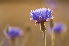 Cornflower in backlight Stock Images