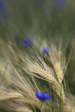 Cornflower in barley field Stock Photography