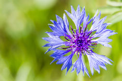 Cornflower. A beautiful blue cornflower on green background Stock Image