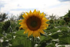 Cornflower royalty free stock photo