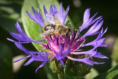 Cornflower with bee Royalty Free Stock Photos