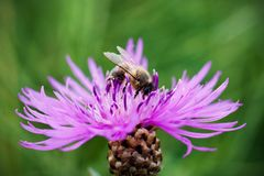 Cornflower and bee on green background. Stock Photos