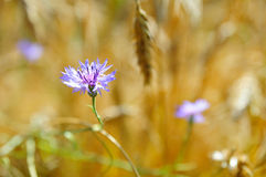 A cornflower. On a Belarusian field Royalty Free Stock Photos