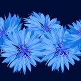 cornflower Blaue Blume Beschaffenheit, Hintergrund nahtlos Lizenzfreie Stockbilder