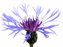 Cornflower bleu photos stock