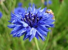 Cornflower bloom Royalty Free Stock Photo