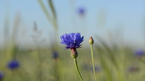 Cornflower bloom move Royalty Free Stock Images