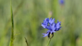 Cornflower bloom move Royalty Free Stock Photography