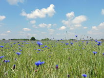 Cornflower blooms in field Royalty Free Stock Photo