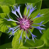 Cornflower, Blue Flower Stock Photo