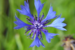 Cornflower. A blue flower known uder variety of names stock images