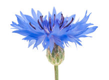 Cornflower Royalty Free Stock Photography