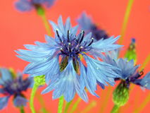 Cornflower Royalty Free Stock Images
