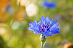 Cornflower is blue Stock Photography