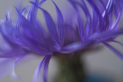 Cornflower blur. Soft focus close up of cornflower petals stock images