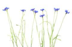 cornflower Boeket van wilde blauwe bloemen stock afbeelding