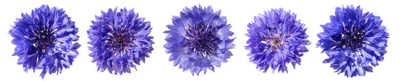 Cornflower border Royalty Free Stock Photo