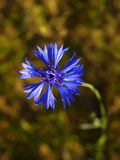 Cornflower Stock Photo