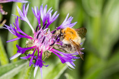 Cornflower and bumblebee Royalty Free Stock Image