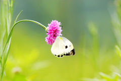 Cornflower with butterfly Royalty Free Stock Images