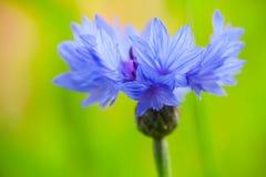 Cornflower. Centaurea cyanus. Blue flower Royalty Free Stock Images