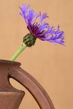 Cornflower (centaurea cyanus) close up in the brown ceramic jar against the beige background. Royalty Free Stock Photos