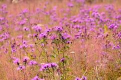 Cornflower (Centaurea jacea) flowers Royalty Free Stock Photography