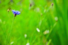 cornflower Centaureacyanus Blauwe Bloem stock foto