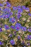 Cornflower che fiorisce nel giardino Fotografia Stock Libera da Diritti