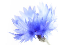 Cornflower, close up. Cornflower close up on white Stock Image