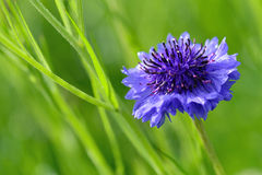 Cornflower closeup Stock Photo