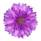 Cornflower como la flor púrpura rosada aislada Imagen de archivo libre de regalías