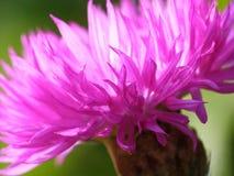 Cornflower cor-de-rosa Imagens de Stock Royalty Free