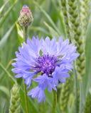 Cornflower on a corn field. A blue cornflower on a corn field background Royalty Free Stock Images