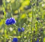Cornflower crescente selvatico (cyanus del Centaurea) Immagine Stock Libera da Diritti
