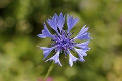 Cornflower, cyanus василёка Стоковые Фотографии RF