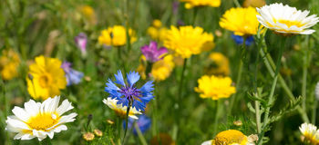Cornflower and Daisies Stock Image