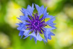 cornflower De blauwe foto van de bloemclose-up royalty-vrije stock afbeelding