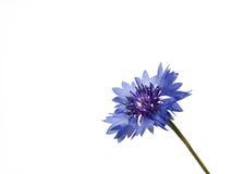 Cornflower de Fower Imagem de Stock Royalty Free