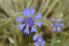 Cornflower. Deep, vivid blue flower stock photos